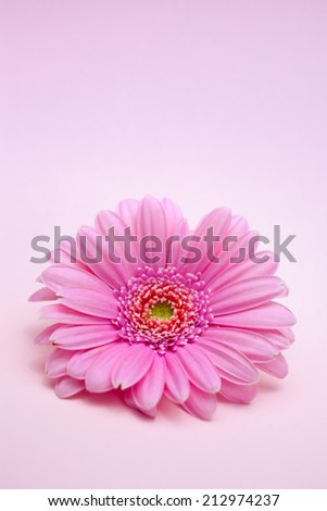 Close up of Blooming Daisy on Pink Background - stock photo