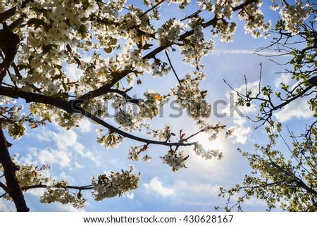 Close up of blooming flowers of cherry tree branch in spring time. Shallow depth of field. Cherry blossom detail on sunny day - stock photo