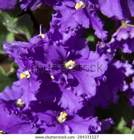 close-up of blooming violets - stock photo