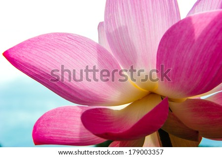 Close-up of blossom pink lotus flowers  - stock photo