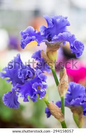 Close up of Blue Bearded Iris Flowers - stock photo