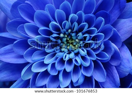 Close up of blue flower : aster with blue petals and yellow heart for background or texture - stock photo