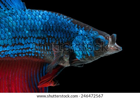 close-up of blue siamese fighting fish (betta splendens) with open mouth isolated on black background - stock photo