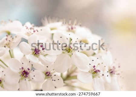 Close up of Bradford Pear Tree Blossoms in spring. - stock photo