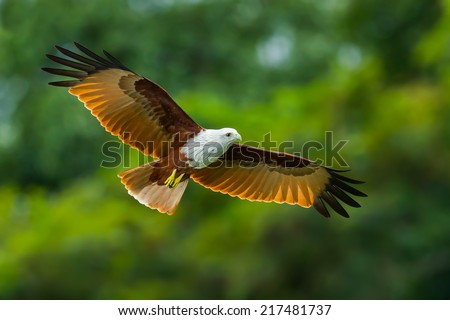 Close up of  Brahminy kite(Haliastur indus) flying in the sky in nature of Thailand - stock photo