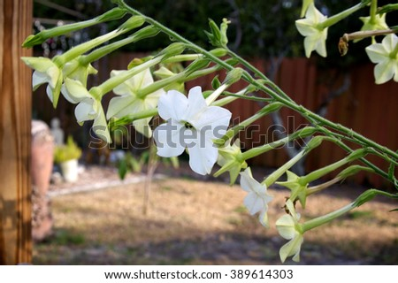 Close up of branch full of nicotiana alata  flowers, five pointed white fragrant blossoms in back yard garden. - stock photo