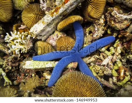 close-up of bright blue star fish,Linckia laevigata, and sea urchins, Sterechinus neumayeri, on  Pulau Satonda Reef, Indonesia - stock photo