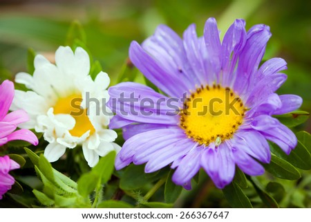 Close-up of bright colorful garden Chrizantenum flowers - stock photo