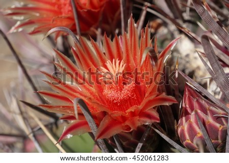 Close up of bright red blooms on top of large barrel cactus - stock photo