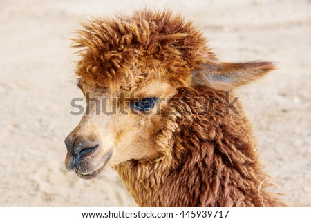 Close up of brown alpaca. - stock photo