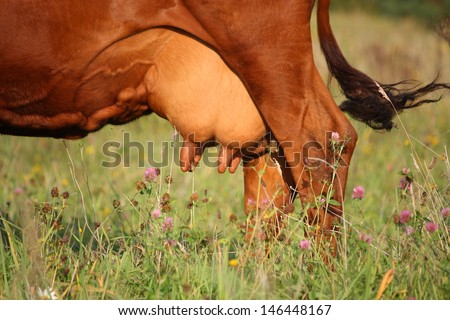Close up of brown cow udder - stock photo