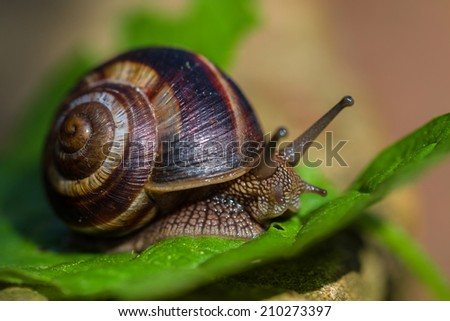 Close-up of burgundy snail walking on the leaf, also known as Roman snail, edible snail or escargot  - stock photo