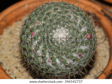 Close up of cactus on pot in garden - stock photo