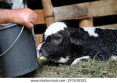 Close-up of calf - stock photo
