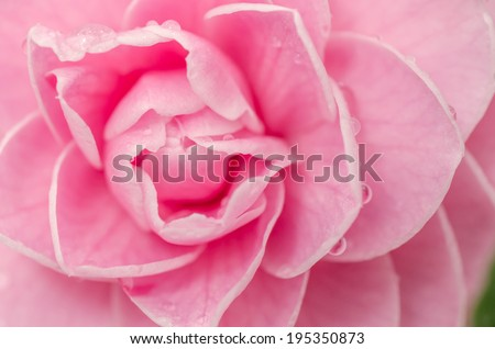 close-up of camellia flower  - stock photo