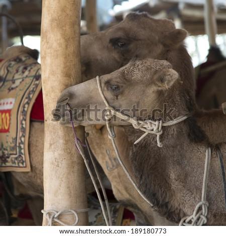 Close-up of camels, Dunhuang, Jiuquan, Gansu Province, China - stock photo