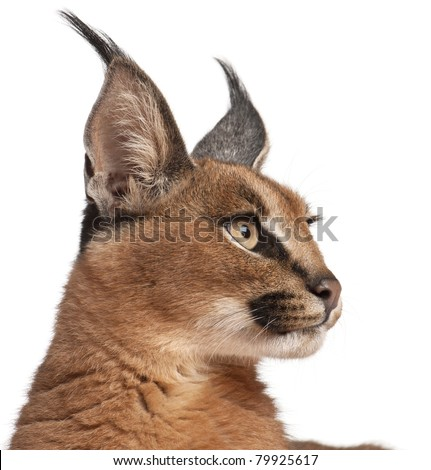 Close-up of Caracal, Caracal caracal, 6 months old, in front of white background - stock photo