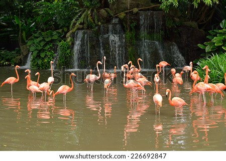 Close up of caribbean flamingos (Phoenicopterus ruber), selective focus. - stock photo