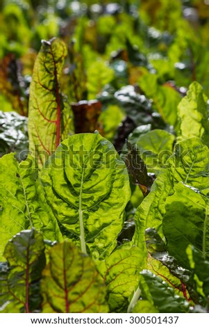 close up of chard leaves  - stock photo