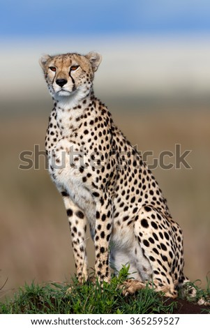 Close up of Cheetah Kakenya in Mara Triangle, Kenya - stock photo