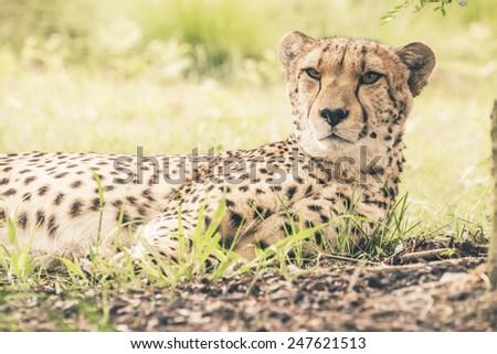 Close-up of cheetah lying in grass. Tenikwa wildlife sanctuary. Plettenberg Bay. South Africa. - stock photo
