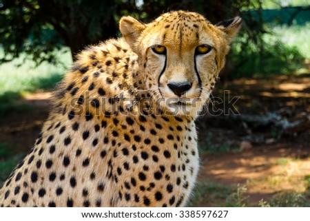 Close up of Cheetah staring into camera - stock photo