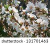 Close-up of cherry blossom flowers in spring - stock photo