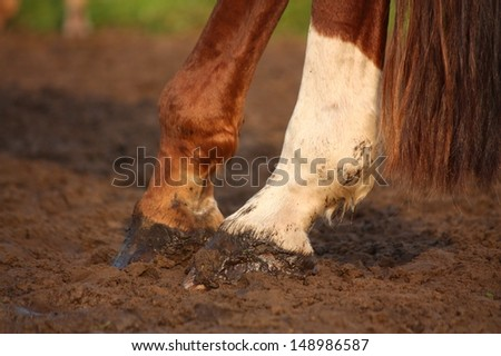Close up of chestnut horse hind legs hooves - stock photo
