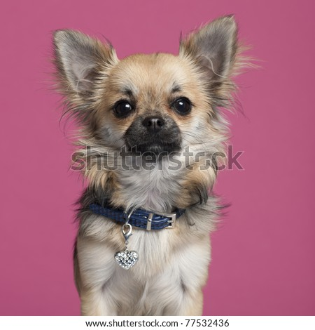 Close-up of Chihuahua in front of pink background - stock photo