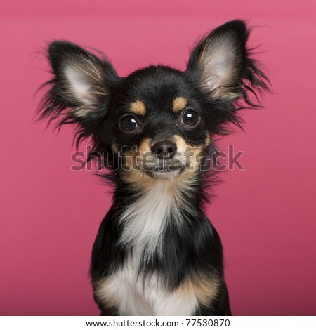 Close-up of Chihuahua puppy, 6 months old, in front of pink background - stock photo