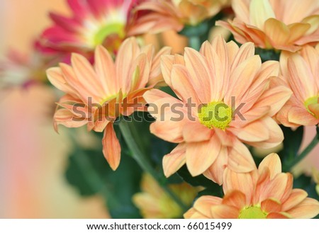 Close-up of   chrysanthemum flower - stock photo