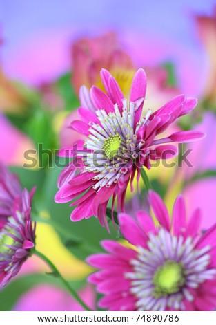 Close-up of   chrysanthemum flower.See similar in my portfolio - stock photo