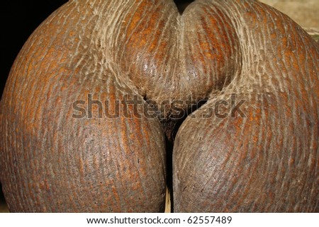 Close-up of coco-de-mer that is the largest seed in plant kingdom. - stock photo