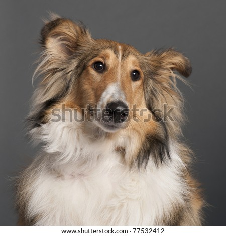 Close-up of Collie in front of grey background - stock photo