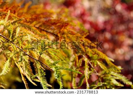 close up of colorful autumn Bald Cypress tree (Taxodium distichum) - stock photo