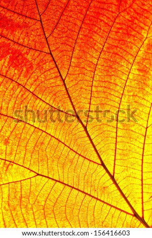 Close up of colorful autumnal maple leaf  - stock photo