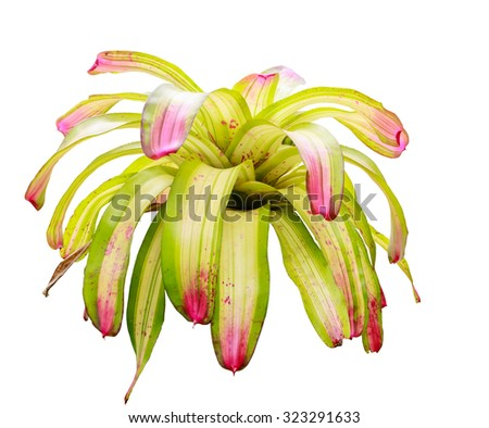 Close up of colorful Bromeliad plants in flower shop isolated on white background - stock photo