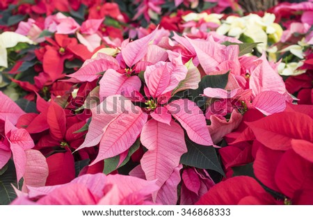 Close Up of Colorful Christmas Poinsettias - stock photo