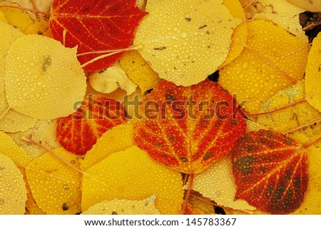Close up of colorful leafs with fall color - stock photo