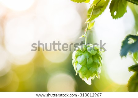 Close-up of common hop cone in soft light, ripe for picking and used as raw material for beer production (Humulus lupulus). Organic agricultural industry, beer production, raw materials concept.  - stock photo