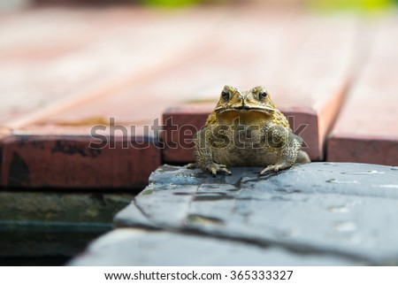 Close up of Common Toad in the garden - stock photo