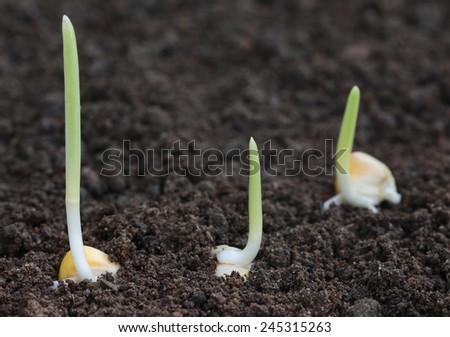 Close up of Corn germination on fertile soil - stock photo