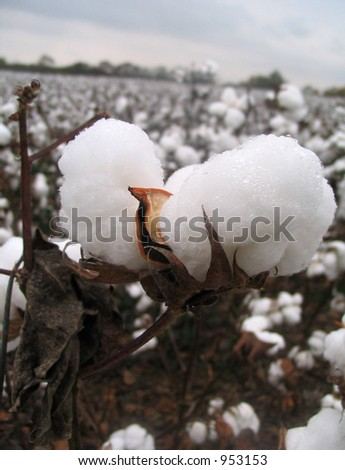 close up of cotton boll - stock photo