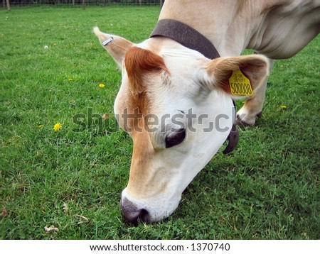 Close-up of cow eating grass - stock photo