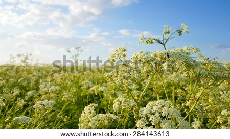 Close up of Cow parsley in a bright green field in spring with a blue sky and white clouds with sunshine and a lush and happy feeling - stock photo