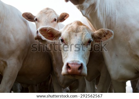Close up of curious white cow in bunch of cows - stock photo