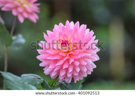 Close up of Dahlia flowers in garden after rain.  - stock photo