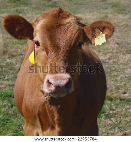 close up of dairy cow - stock photo