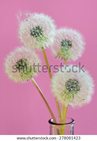 close up of dandelion and water drops - stock photo