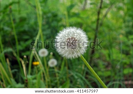 Close-up of dandelion flower with fluff on green background                                - stock photo